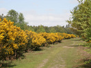 [A gorse-lined track in Tunstall Forest]